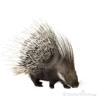 Free Porcupine Stock Photos - 2894713