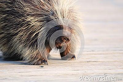 Porcupine on wood bridge in Wildlife Sanctuary