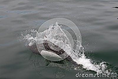 Porpoise breaching ocean