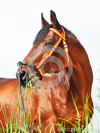 Portait of amazing breed stallion