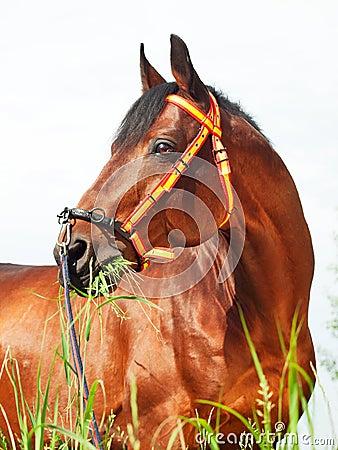 Portait of amazing breed stallion