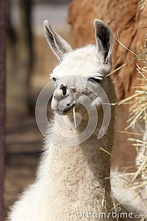 Portait of Llama