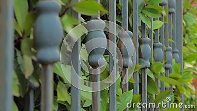 Portes forgées fermant, s'ouvrant avec des feuilles vertes de brousse, arbustes sur fond. Système de portes automatisées. Conce banque de vidéos