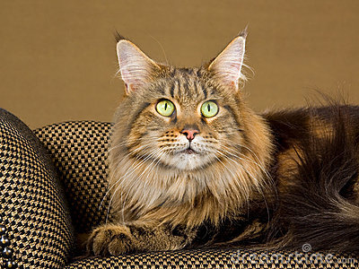 Portrait of adult Maine Coon cat