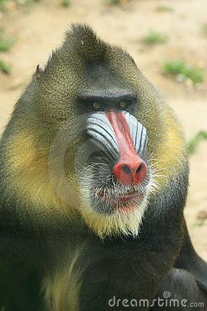 Portrait of an Africa mandrill