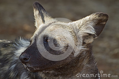 Portrait of African Wild dog