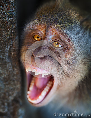 Portrait of aggressive monkey close up