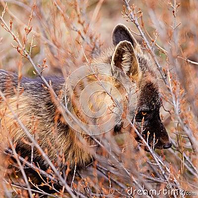 Portrait of alert watchful red fox, genus Vulpes