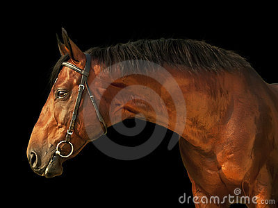 Portrait of amazing bay stallion isolated on black