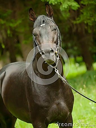 Portrait of amazing black horse