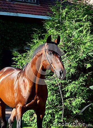Portrait of amazing breed german stallion .