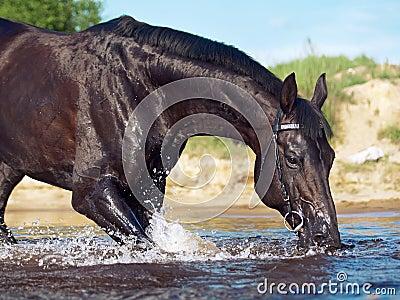 Portrait of amazing drinking black stallion