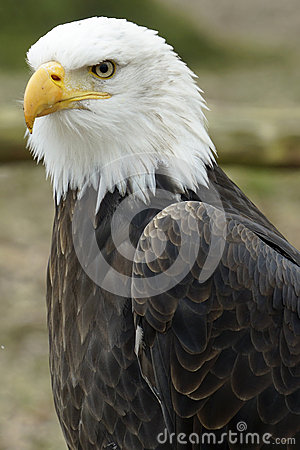 Portrait of an American eagle