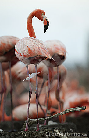 Portrait of the American Flamingo.