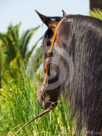 Portrait of Andalusian bay stallion