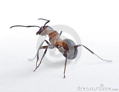 Portrait of ant formica rufa
