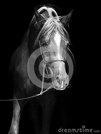 Portrait of arabian colt at black background