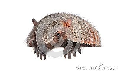 Portrait of Armadillo -  Dasypodidae Cingulata
