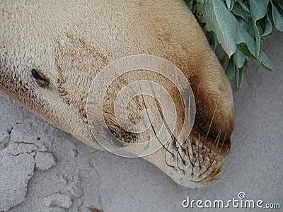 Portrait of an Australian sea lion