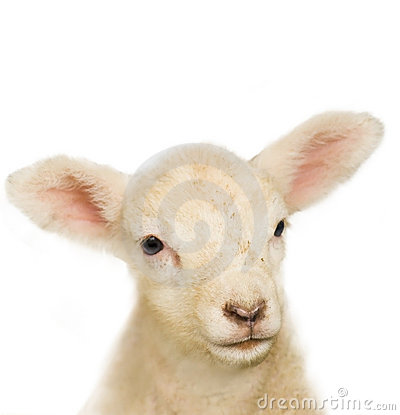 Portrait of a baby lamb