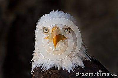 Portrait of a bald eagle close up