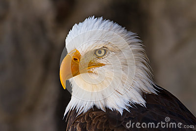 Portrait of a bald eagle close up side view