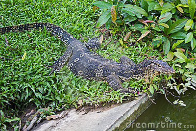 Portrait of a banded monitor lizard