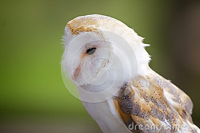 A portrait of a barn owl