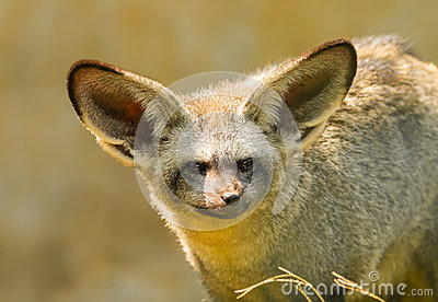 The portrait of Bat-eared fox