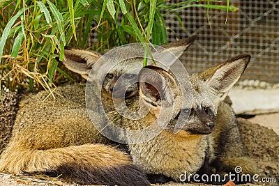 The portrait of Bat-eared fox  family