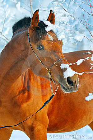 Portrait of bay horse in winter