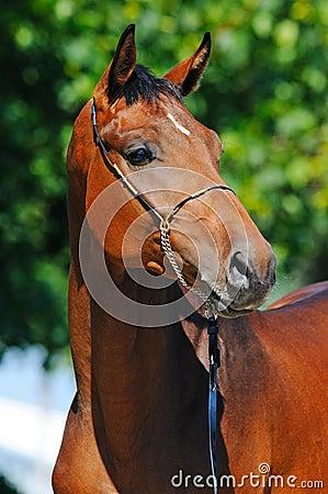 Portrait of bay stallion