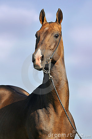 Portrait of beautiful bay Akhal-Teke stallion