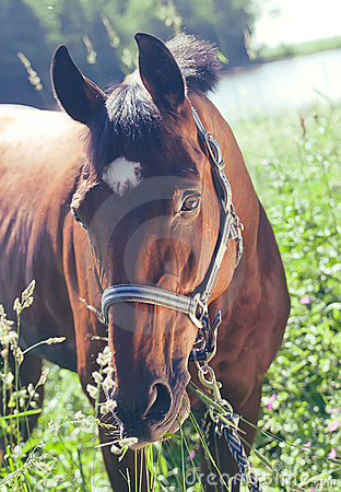 Portrait of beautiful bay  mare art toned