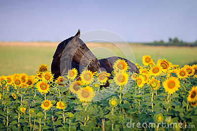 Portrait of beautiful black horse in flower