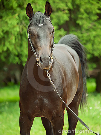 Portrait of  beautiful breed stallion around pine