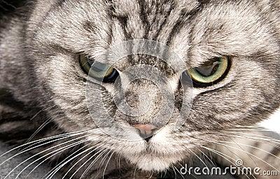 Portrait of beautiful british shorthair cat
