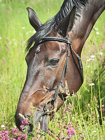 Portrait of beautiful grazing dark mare