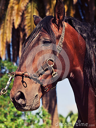 Portrait of beautiful purebred Andalusian bay stallion, Spain