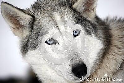 Close up of a Siberian Husky