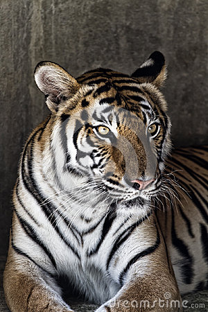 Portrait of a beautiful tiger