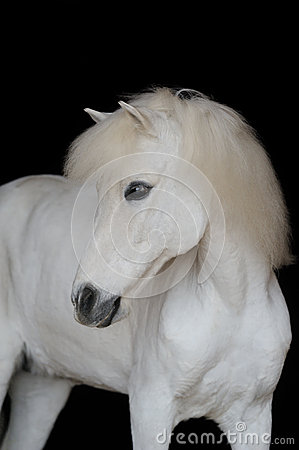 Portrait of the beautiful white pony