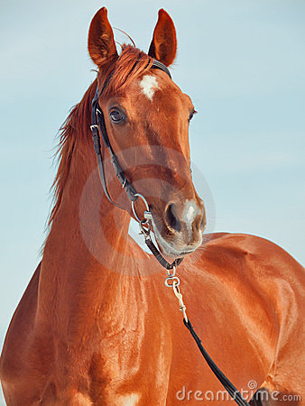 Portrait of beautiful young red  horse