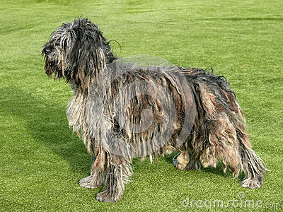 Portrait of Bergamasco Shepherd dog