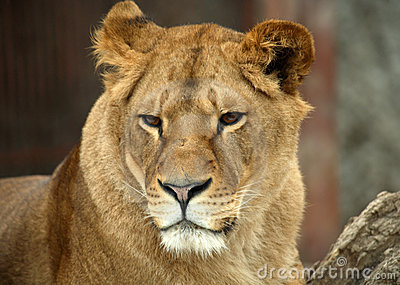 Portrait Of A Big Lion Stock Photos - Image: 13448943