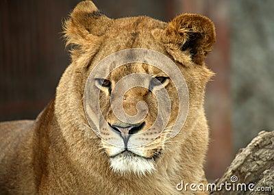 Portrait of a big lion