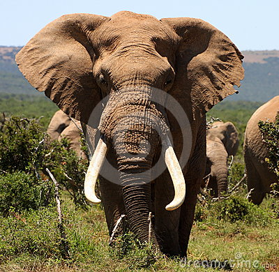 Portrait of a big tusker Bull Elephant