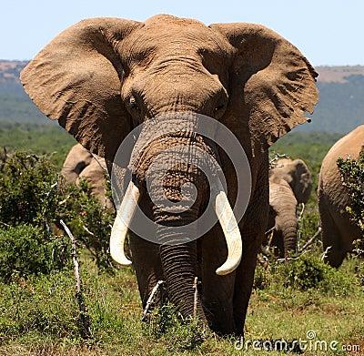 Portrait of a big tusker Bull Elephant