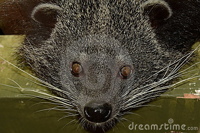 Portrait of a Binturong
