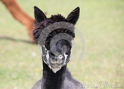 Portrait of a black alpaca.